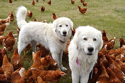 Maremma dogs guard our chickens