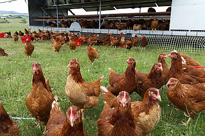 Eggs_1 Authentic Free Range Eggs